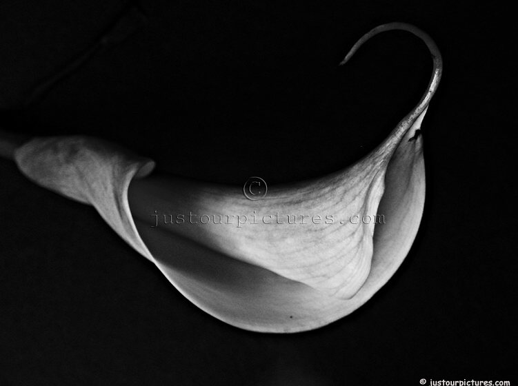 Calla lily in black and white, File# 2143. Photographer: Susan