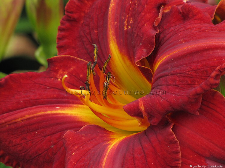 Bronze-red, Day Lily, File# 7639. Photographer: Susan