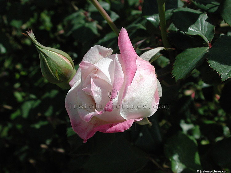 Mrs Bosanquet rose