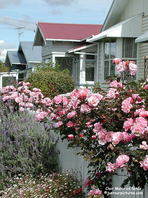 http://justourpictures.com/roses/imgs/clair-matin-roses-on-fence.jpg