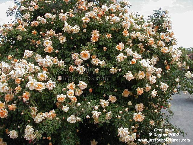 http://justourpictures.com/roses/imgs/crepusclebush.jpg