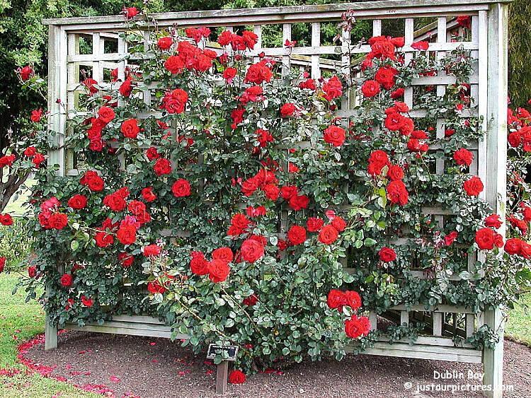 http://justourpictures.com/roses/imgs/dublinbaytrellis2.jpg