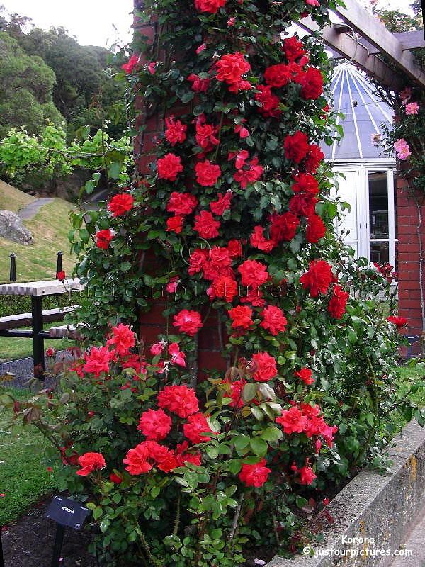 http://justourpictures.com/roses/imgs/korona_2980.jpg