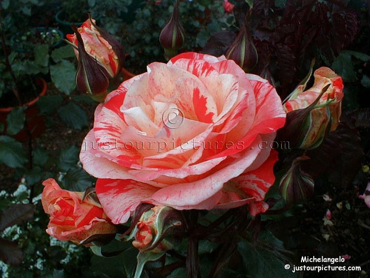 Michelangelo rose, aka: The Painter