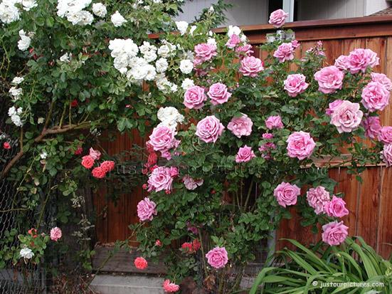 http://justourpictures.com/roses/imgs/moonshadowbush.jpg