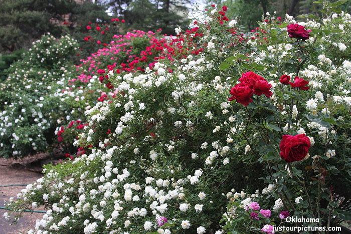 http://justourpictures.com/roses/imgs/oklahomabush.jpg