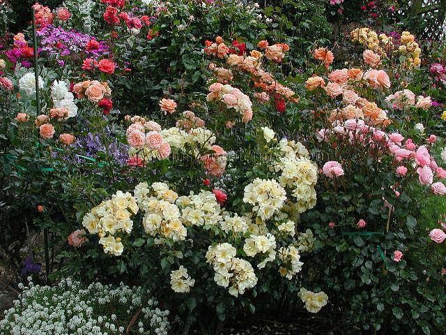http://justourpictures.com/roses/imgs/sgarden2.jpg