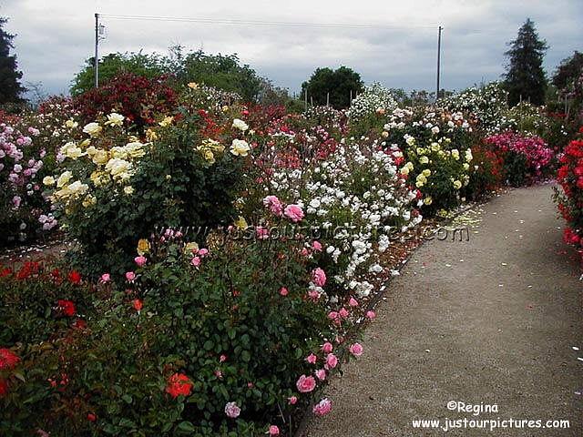 http://justourpictures.com/roses/imgs/sjhrgmoderns.jpg