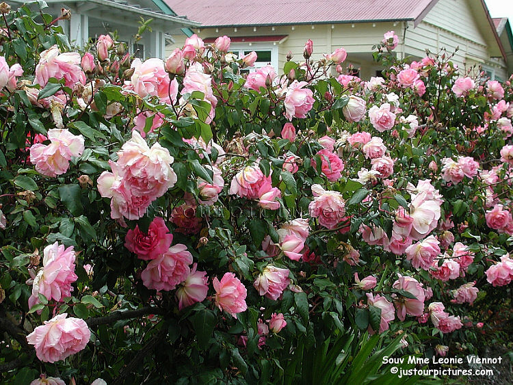 http://justourpictures.com/roses/imgs/souv-mme-leonie-viennot-bush.jpg
