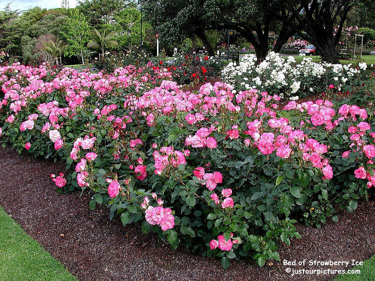 http://justourpictures.com/roses/imgs/strawberry-ice-rose-bed.jpg