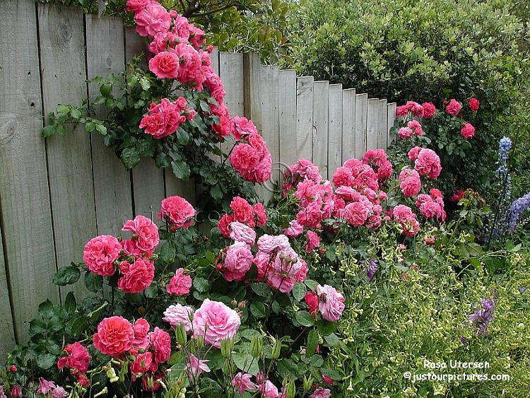 http://justourpictures.com/roses/imgs/utersen-2044.jpg