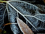 Hoar frost on leaves,<br>File# D1720. Photographer: Christine. October 2010