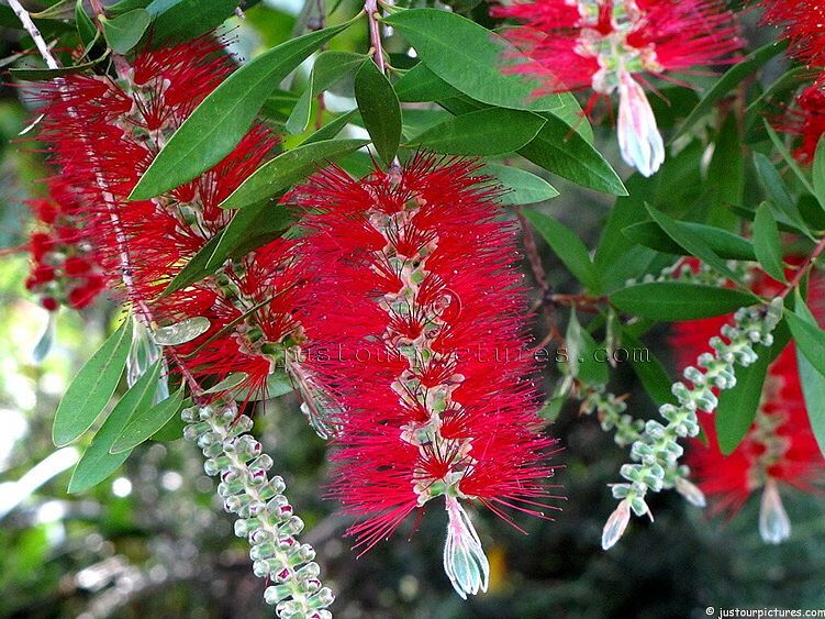 Pictures Of Proteas Grevilleas Leucospermums And