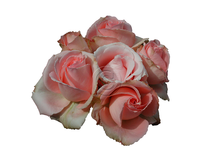 Just Our Pictures Of Roses Site Index